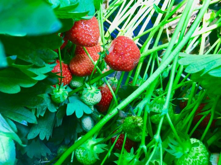 hendrewennol strawberries growing