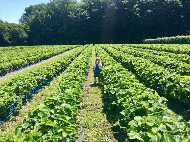 hendrewennol Strawberry fields
