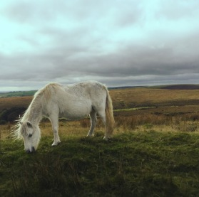 Llandeilo road home wild white horse